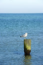 Sea gull sitting on wood at baltic sea Stock Images
