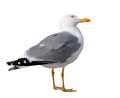 Sea gull standing on his feet. seagull . Royalty Free Stock Photo