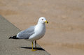Sea gull standing watch a stands on a michigan beach Stock Image