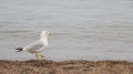 Sea Gull Takes a Stroll on the Beach Royalty Free Stock Photo