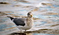 Sea gull in water a standing shallow Royalty Free Stock Photos