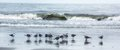 Sea gulls a flock of on a beach Stock Images