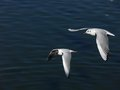 The sea gulls fly two Royalty Free Stock Image