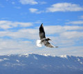 Sea gulls flying picture of a on a lake ohrid macedonia Stock Photography