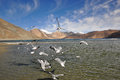 Sea gulls in pangong lake flying over ladakh india the acts as an important breeding ground for a variety of birds Royalty Free Stock Photo