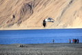 Sea gulls in pangong lake ladakh india high altitude salt water the himalayas two third of the is tibet and one third india Stock Image