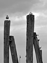 Sea gulls on the wooden pillars by the Baltic Sea - black and white Royalty Free Stock Photo