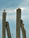 Sea gulls on the wooden pillars by the Baltic Sea Royalty Free Stock Photo