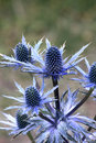 Sea Holly Stock Images