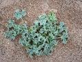 Sea holly aka Eryngo plant in dunes. Eryngium maritimum. Historical aphrodisiac. Royalty Free Stock Photo
