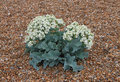 Sea Kale, Suffolk Beach Royalty Free Stock Photo