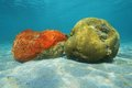 Sea life red boring sponge and grooved brain coral underwater on sandy seabed of the caribbean Royalty Free Stock Photos