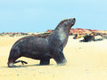 Sea lion Royalty Free Stock Image