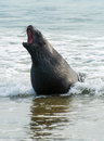 Sea lion adult new zealand phocarctos hookeri roaring on the curio bay beach as it is comming from the southland new zealand Royalty Free Stock Photography