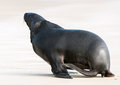Sea lion adult new zealand phocarctos hookeri roaring on the curio bay beach southland new zealand Stock Photos