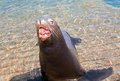 Sea Lion aggressively opening mouth in Cabo San Lucas Mexico BCS Royalty Free Stock Photo