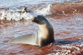 Sea Lion on a Beach Stock Images
