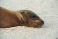 Sea Lion on a Beach Royalty Free Stock Photo