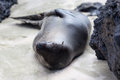 A sea lion on the beach at Galapagos Islands Royalty Free Stock Photo
