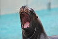 Sea lion closeup of the face of a Royalty Free Stock Photos