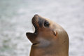 Sea lion closeup of the face of a Royalty Free Stock Photography
