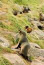 Sea lion colony Royalty Free Stock Image