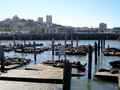 Sea Lion Colony (San Francisco, USA) Royalty Free Stock Photo