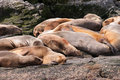Sea lion group relaxing beagle channel Royalty Free Stock Photos