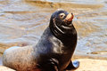 Sea Lion Royalty Free Stock Photo