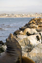 Sea lion at monterey bay Stock Photos