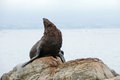 Sea lion on New Zealands shore Royalty Free Stock Photo