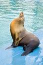 Sea lion (Otarriinae) sunbathing Royalty Free Stock Photo