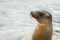 Sea lion reaching its head above the water surface. Royalty Free Stock Photo