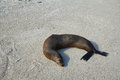 Sea lion resting on the sand in darwin bay of genovesa island galapagos ecuador Royalty Free Stock Image