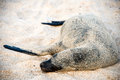 Sea lion resting under the sun galapagos puerto baquerizo moreno Royalty Free Stock Images