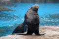 A sea lion Royalty Free Stock Photo