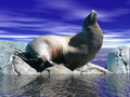 Sea Lion on Rock Stock Photos