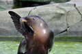 Sea lion salute a female california gives a with her flipper Stock Photo
