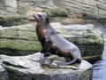 Sea Lion or seal Royalty Free Stock Images