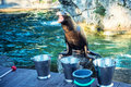 Sea lion is waiting feed roaring or seal to Royalty Free Stock Image