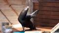 Sea lion waves hello Royalty Free Stock Photo