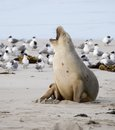 Sea lion yawning at seal bay of kangaroo island australia Royalty Free Stock Photography