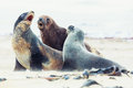 Sea lions Stock Image