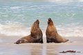 Sea lions Royalty Free Stock Photo