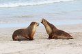 Sea lions Stock Photography