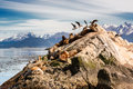 Sea lions and Albatros on isla in  beagle channel near Ushuaia Royalty Free Stock Photo