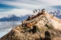 Sea lions and Albatros on isla in beagle channel near Ushuaia