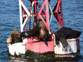 Sea Lions on Buoy Stock Image