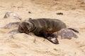 Sea Lions In Cape Cross, Namib...