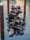 Sea lions on a dock crowd floating in the newport oregon harbor Stock Photos